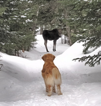 Joey stares down a Moose