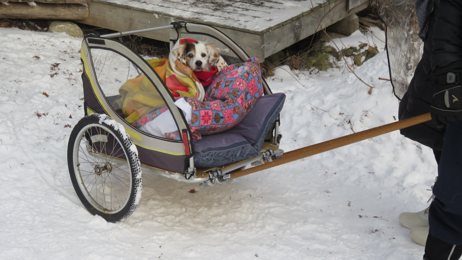 Dog in Chariot.jpg